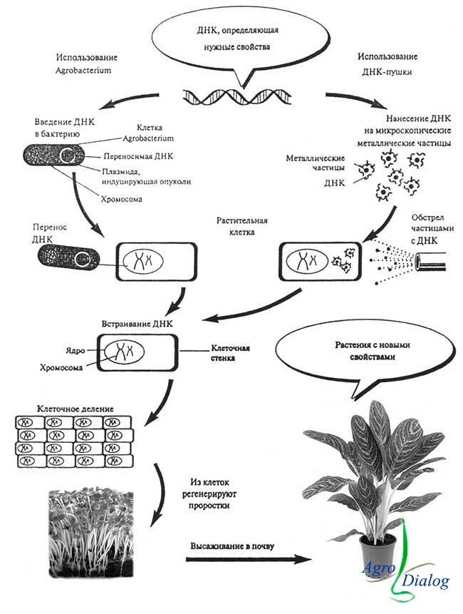 Метод-генной-трансформации-растений