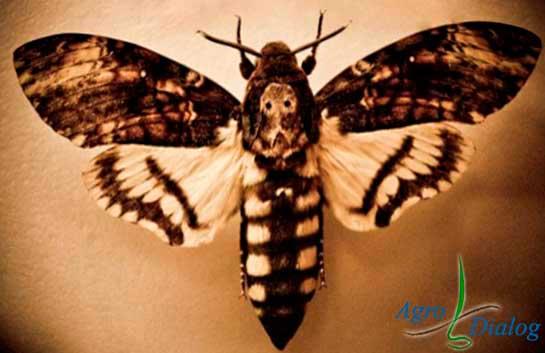Бабочка «мертвая-голова» (Acherontia atropos)