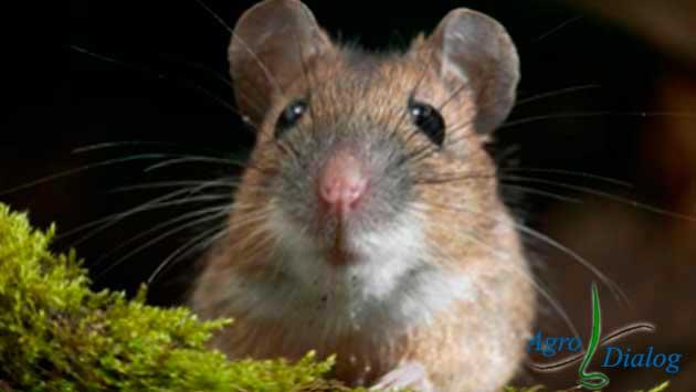 Мыши (Muridae)