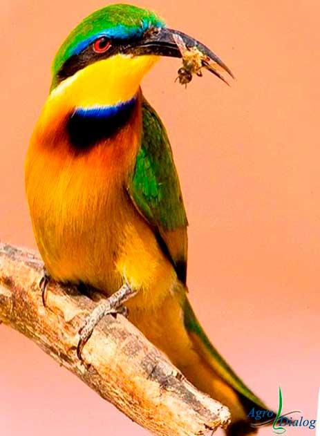 Пчелоед