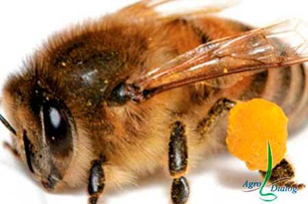Рабочая-пчела-(Apis-mellifera)