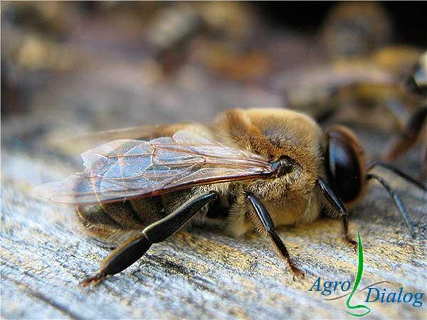 Трутень (Apidae sociales)