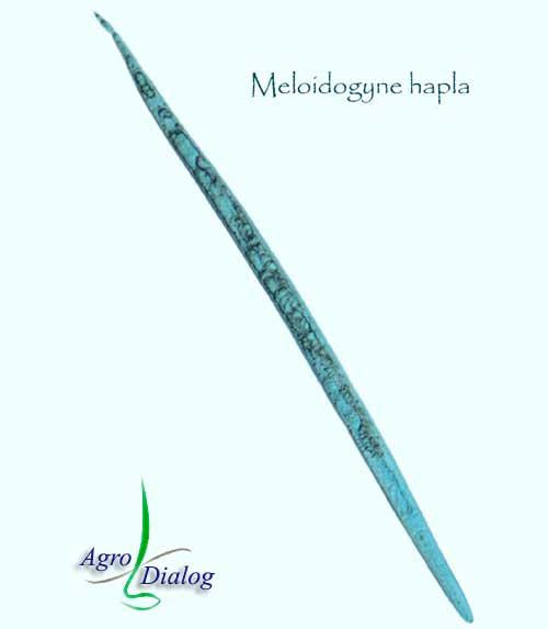 Галловые нематоды M. hapla