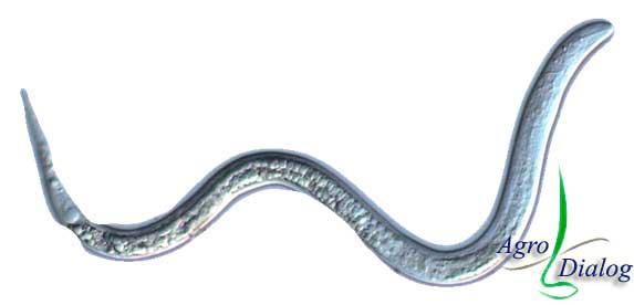 Галловые нематоды M. incognita