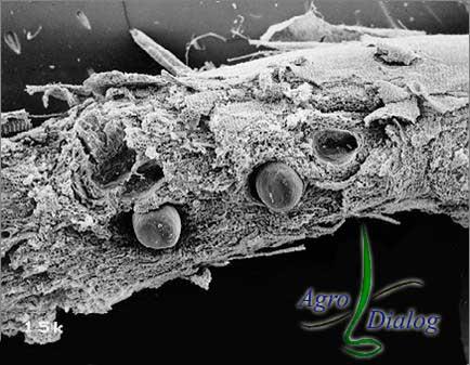 Галловые нематоды M. javanica