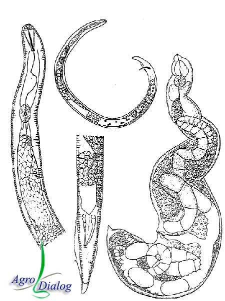 Почковидные нематоды R. reniformis