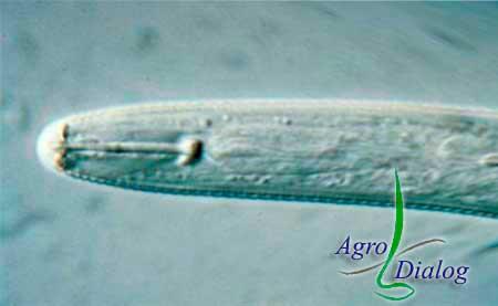 Соевая цистообразующая нематода Heterodera glycine Ichinohe