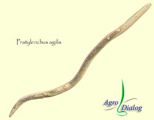 Корневая нематода P. agilus
