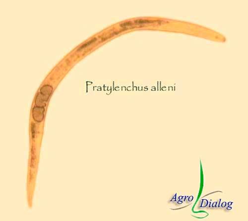 Корневая нематода P. alleni