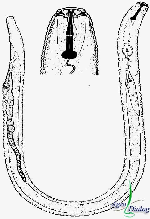 Корневая нематода P. brachyurus