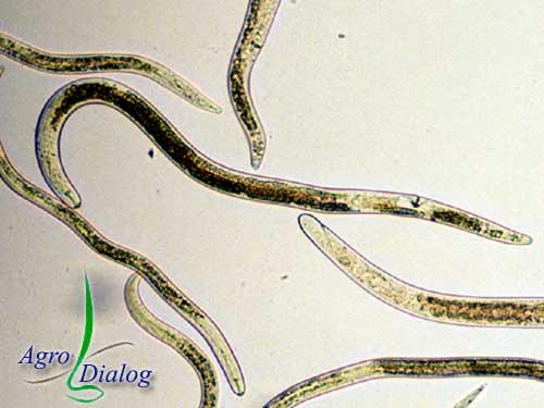 Корневая нематода P. coffeae