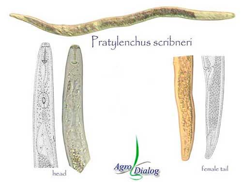 Корневая нематода P. scribneri