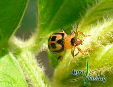 Жук листоед (Cerotoma trifurcata)