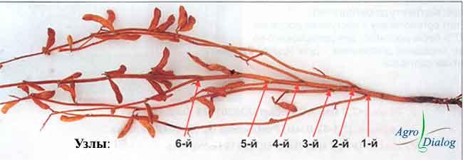 Месторасположение узлов на главном стебле сои