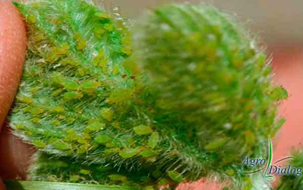 Соевая тля (Aphis glycines)