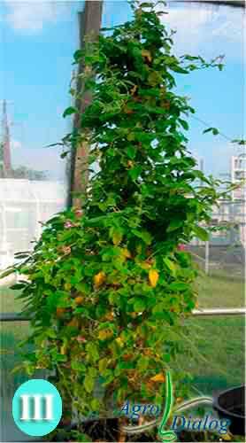 Соя (Glycine tomentella)