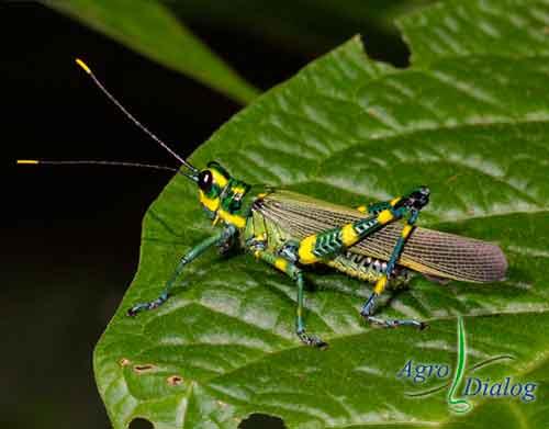 Кузнечик (Orthoptera)