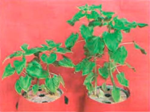 Растение испытывает недостаток калия (слева), и растение, не испытывающее недостаток калия (справа)