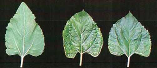 Листья растения, испытывающего недостаток кальция; слева – лист здорового растения