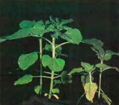 Справа – растение, испытывающее недостаток фосфора