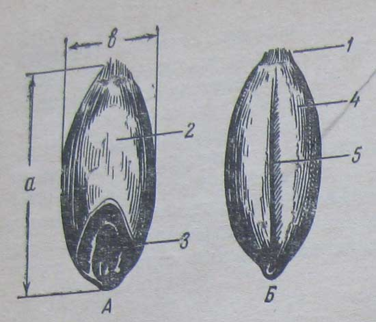 Морфология и размерная характеристика зерновки пшеницы