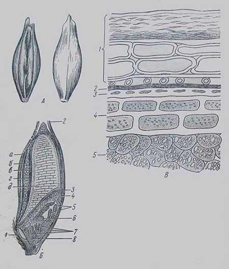 Зерновка ячменя