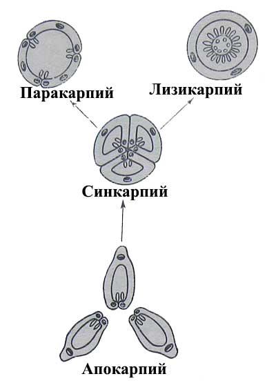 Схема эволюции гинецея