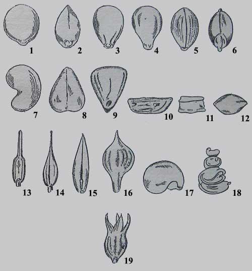 Очертание семян полевых и сорных растений (с широкой стороны семени)
