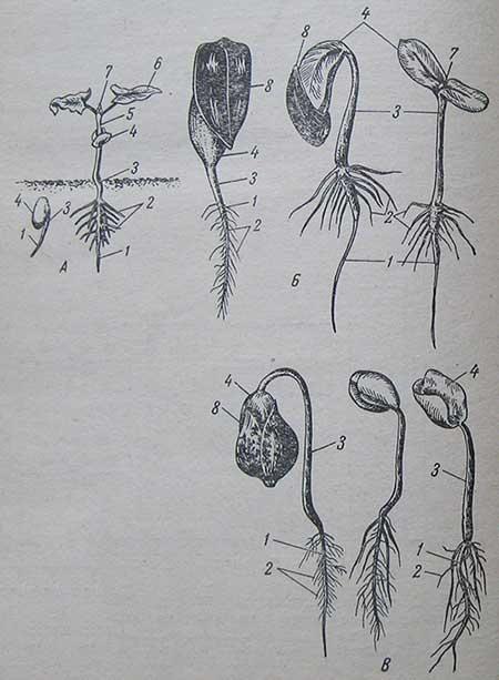Прорастание семян и строение проростка у культур, выносящих семядоли на поверхность почвы