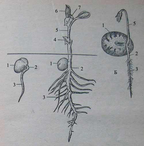 Прорастание семян и строение проростка у культур, не выносящих семядоли на поверхность почвы