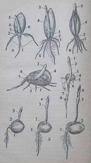 Прорастание семян и строение проростка у злаковых культур