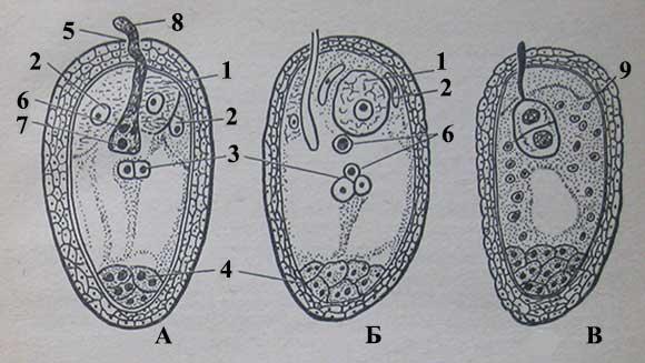 Двойное оплодотворение (продольный разрез зародышевого мешка кукурузы)
