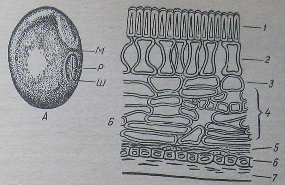 Строение семян сои