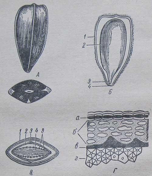 Строение семянки подсолнечника