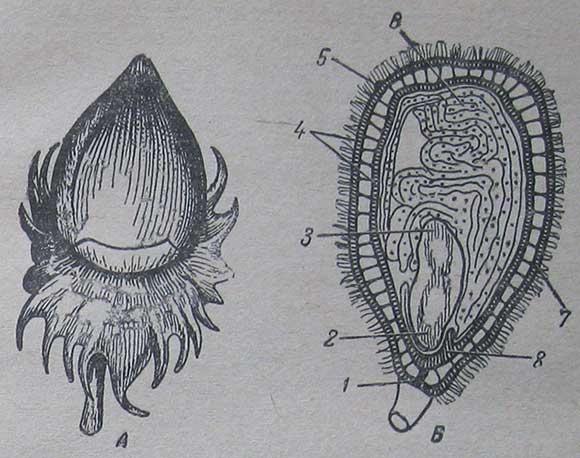 Плод и семя хлопчатника