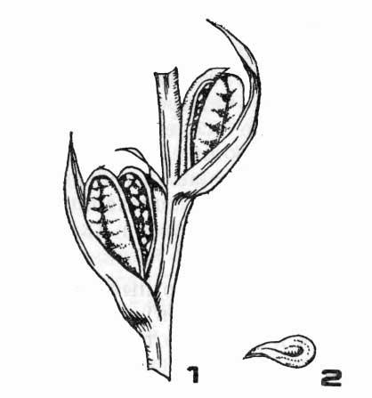 Семенная коробочка в стадии созревания семян и семя гладиолуса
