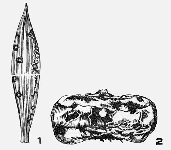 Мелкопятнистость на листьях гладиолусов (1) и твердая гниль на клубнелуковицах (2)
