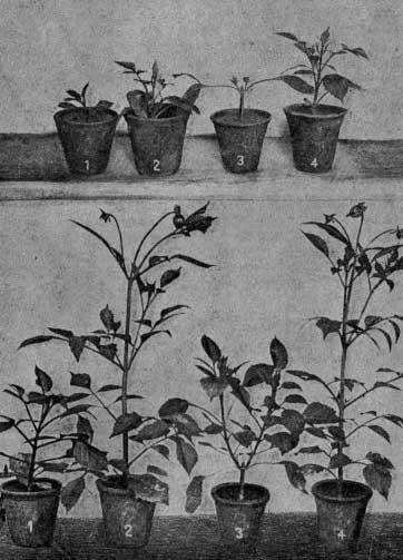 Зависимость развития растения георгин от размеров черенка