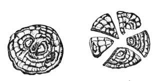 Радиальное деление клубнелуковицы перед посадкой на пять частей