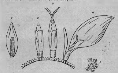 Схема соцветия георгин
