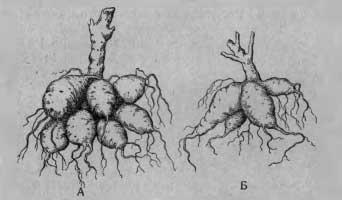 Кусты георгин из семян