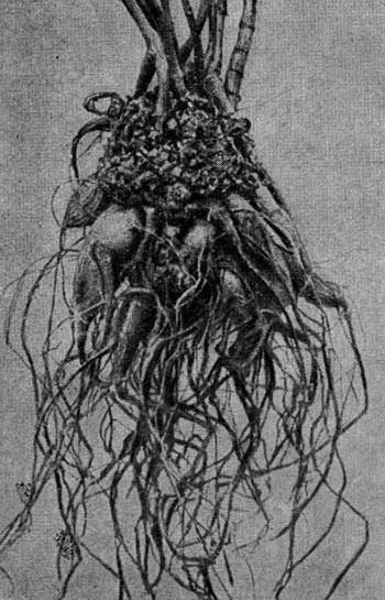 Корневой рак на георгине, вызываемый бактерией B. tumifaciens