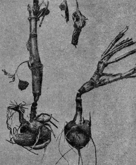 Подземные части стебля георгин, поврежденных личинками майского жука