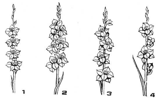 Расположение цветков в соцветии