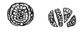 Продольное деление клубнелуковицы перед посадкой на четыре части