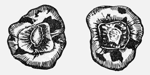 Клубнелуковица, поврежденная трипсом