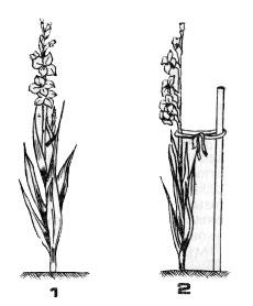 Удаление ответвления (1) и правильная подвязка гладиолусов к кольям во время развития соцветия (2)