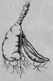 Разросшийся не деленный материнский клубень, дающий плохие растения