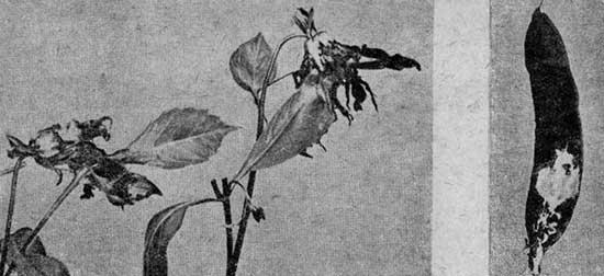 Серая плесень (Botrytis cinerea Pers.)