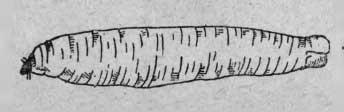 Личинка комара-долгоножки «типуля» (Tipula oleracea L.)